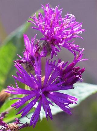 Vernoniafasciculata5-nxpowerlite-copy