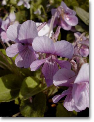 Violaphalacrocarpa