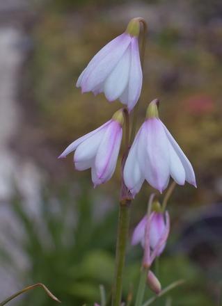 Acistrichophyllap1