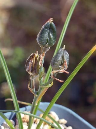 Albucapolyphylla10