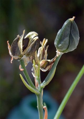 Albucapolyphylla11