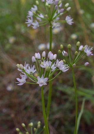 Alliumsenescence2