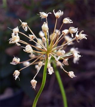Alliumsenescence8