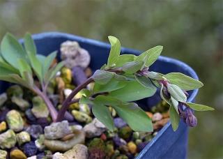 Cfumariifolia5