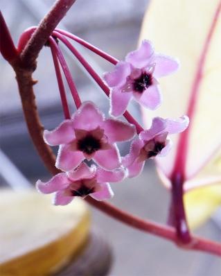 Hoyakrimusonqueen1