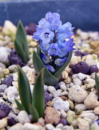 Hyacinthelladalmatica10