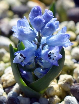 Hyacinthelladalmatica11