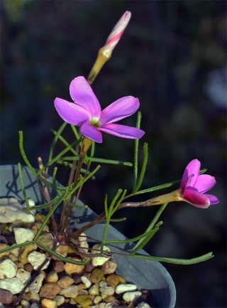 Ophloxidiflora1