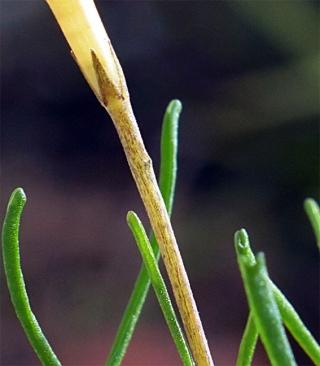 Ophloxidiflora6