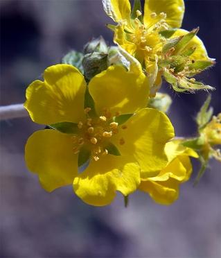 Potentilladiscolor7