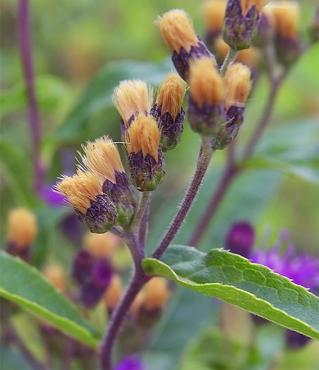 Vernoniafasciculata10