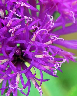 Vernoniafasciculata8