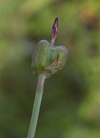 Zephyranthusminima7